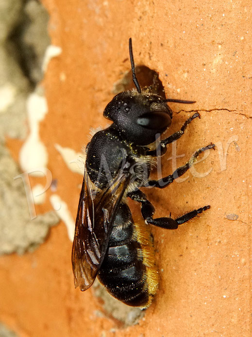 Bild: Osmia leaiana, Zweihöckrige Mauerbiene, am Niststein aus Ton