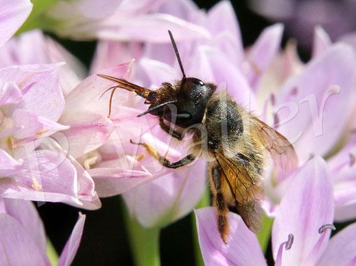 Bild: Rostrote Mauerbiene, Osmia bocornis, am Lauch