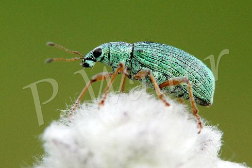 28.06.2014 : ein Käfer, keine Ahnung welche Art ...