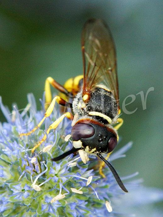 21.07.2019 : Bienenwolf, Philanthus triangulum, Männchen, auf den Blüten der Kugeldistel