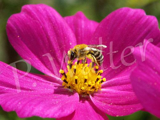 Bild: eine Seidenbiene, Colletes spec., hat sich kurz auf einer Cosmee blicken lassen