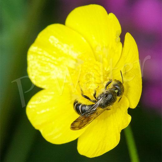 Bild: Hahnenfuß-Scherenbiene, Osmia florisomne, Weibchen beim Nektartrinken und Pollensammeln