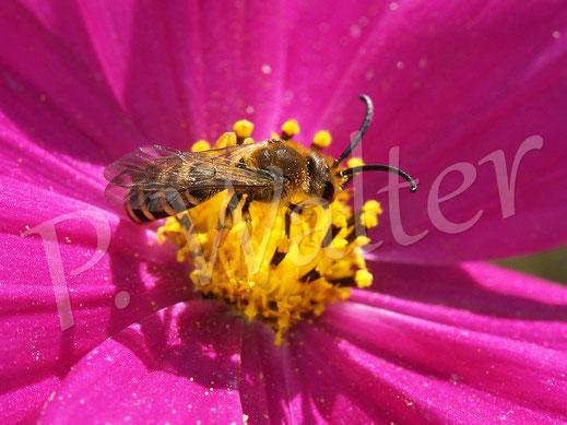Bild: Männchen, Gelbbindige Furchenbiene, Halictus scabiosae, an einer Cosmee