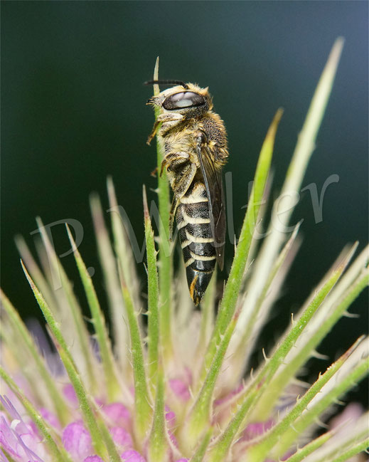 Bild: Goldsaum-Kegelbiene, Coelioxys aurolimbata, Weibchen hat sich zum Übernachten an der Wilden Karde festgebissen