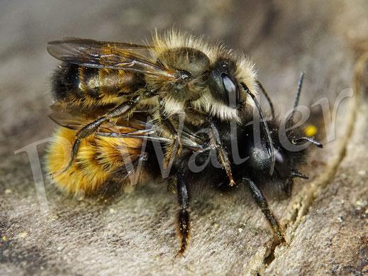 """Bild: ungewöhnliches """"Pärchen"""", ein Männchen der Rostroten Mauerbiene hat sich ein Weibchen der Gehörnten Mauerbiene """"geschnappt"""" ..."""