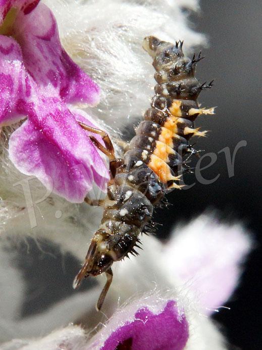 18.06.2017 : eine Marienkäferlarve am Woll-Ziest