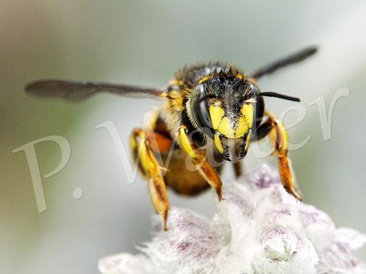 Bild: Garten-Wollbiene, Anthidium manicatum, nach dem Regen am Woll-Ziest