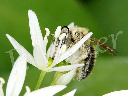 Bild: Sandbiene, wahrscheinlich ein Männchen, Andrena spec., am Bärlauch