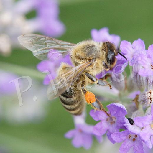 28.06.2014 : Honigbiene am Lavendel