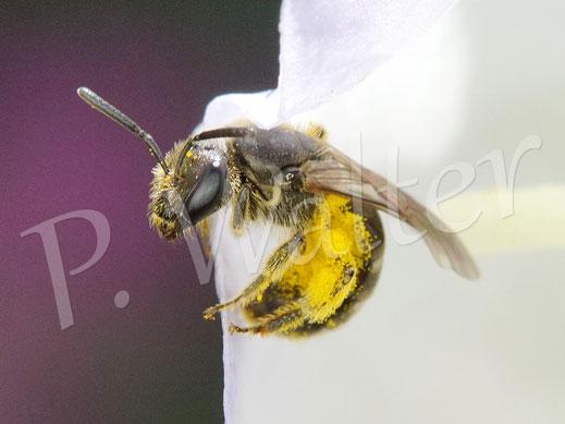Bild: eine kleine Furchenbiene, Halictus spec., an einer Pfirsichblättrigen Glockenblume