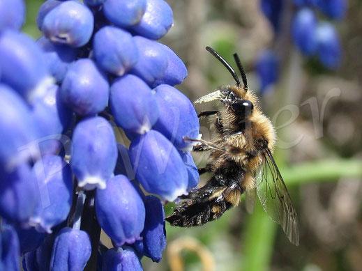 Frühlings-Trauerbiene, Melecta albifrons
