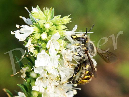 Bild: Garten-Wollbiene, Anthidium manicatum, Männchen, tankt Nektar am Weißen Ysop
