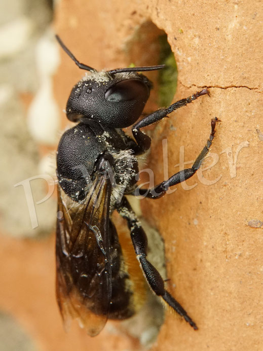 Bild: Osmia leaiana, Zweihöckrige Mauerbiene, am Niststein aus Ton, man erkennt bereits den Pflanzenmörtel für den Nestverschluss