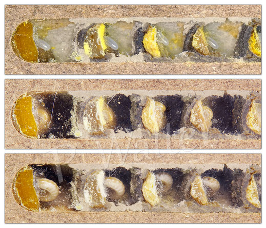 Bild: Entwicklung vom Ei, frisch geschlüpft, Raupe - Gehörnte Mauerbiene, Osmia cornuta - Nistkammer,