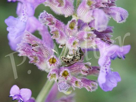 Bild: kleines Furchenbienenweibchen, ca. 6 mm lang, auf der Katzenminze