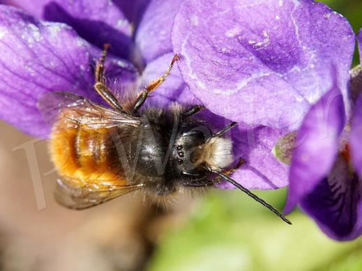 Bild: Gehörnte Mauerbiene, Männchen, Osmia cornuta, Wildbiene, Veilchen