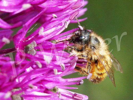 Bild: eine Rostrote Mauerbiene, Osmia bicornis, am Allium