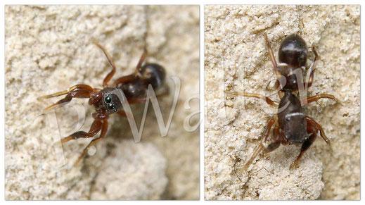 24.05.2015 : Ameisenspinne, Synageles venator, eine Ameisennachahmende Springspinne