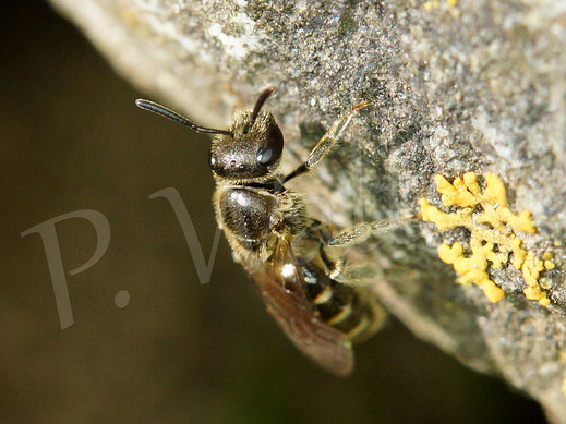 07.04.2019 : eine sehr kleine Furchenbiene