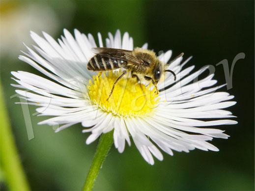 20.06.2021 : wahrscheinlich Colletes daviesanus, die Buckel-Seidenbiene, Männchen auf dem Einjährigen Berufkraut