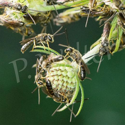 Bild: Schmalbienen-Schlafhaufen, Lasioglossum spec., reine Männerrunde