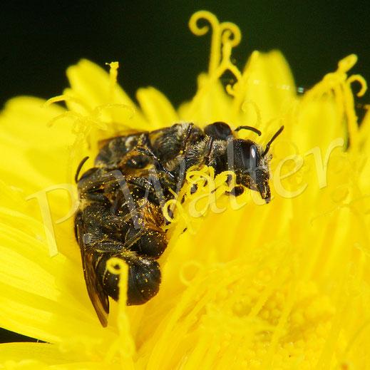 Bild: Paarung, Löcherbiene, Osmia truncorum, Zweijähriger Pippau, Wiesen-Pippau