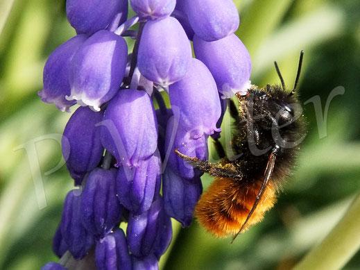 Bild: Weibchen, Gehörnte Mauerbiene, Osmia cornuta, an einer Traubenhyazinthe