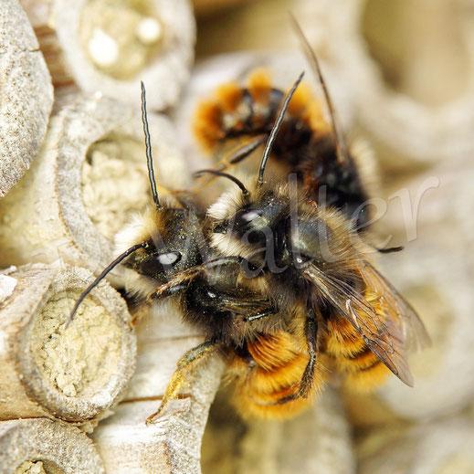Bild: Männchen der Gehörnten Mauerbiene, Osmia cornuta, Bambusstengel