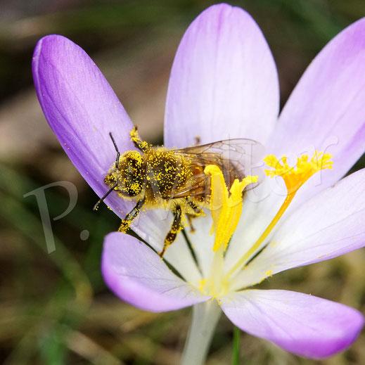 Bild: Honigbiene nach einem Pollenbad in einer Krokusblüte