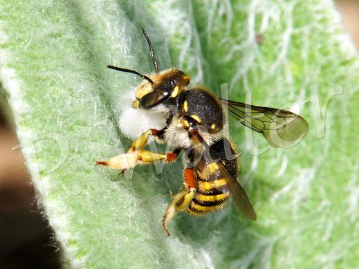 08.07.2017 : Garten-Wollbiene sammelt Baumaterial, die Haare des Woll-Ziests