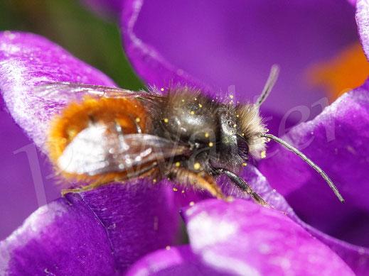 Bild: Gehörnte Mauerbiene, Männchen, Osmia cornuta, Wildbiene, Krokus