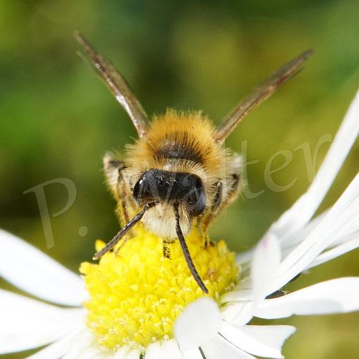 Bild: Männchen einer Sandbiene, Andrena spec., am Gänseblümchen