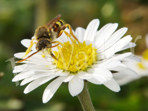 Bild: eine Wespenbiene, Nomada spec., trinkt Nektar am Gänseblümchen