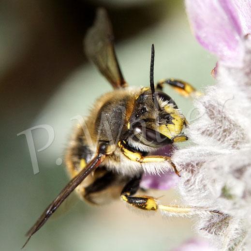 Bild: eine Gartenwollbiene, Anthidium manicatum, am Woll-Ziest