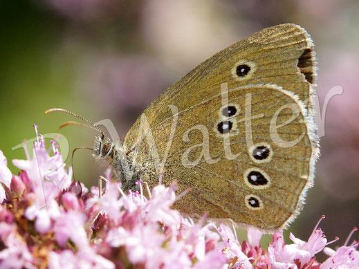 01.08.2015 : Schmetterling am Oregano