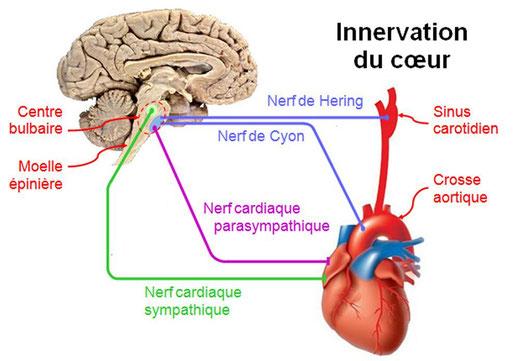 Schéma de l'innervation entre le bulbe rachidien (= centre bulbaire) et le coeur. Source : http://raymond.rodriguez1.free.fr/Textes/232.htm