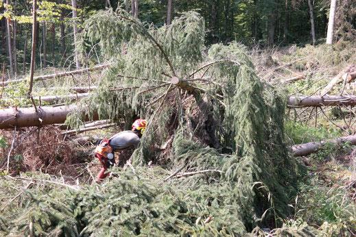 Waldarbeiter während der Holzernte in Kirchheim Teck beim Abstützen eines Wurzeltellers...