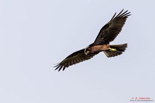 Rohrweihe, Western Marsh Harrier, Circus aeroginosus, Cyprus, Akrotiri Marsh, 08.09.2018 2018