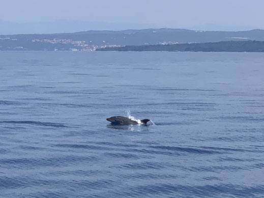 Kroatien, Krk, Cres, Delfine, Segeln
