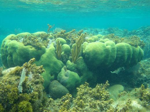 Dom Rep, Dominikanische Republik, Punta Rucia, Cayo Arena, Schnorcheln, Tauchen, Korallen, bunte Fische