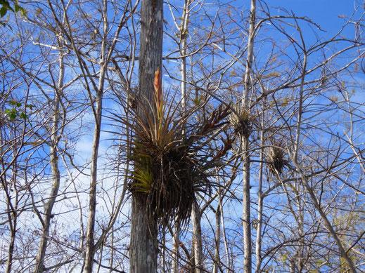 Florida, Everglades, Bromelien, z. T. mit Blüten, Gator Site