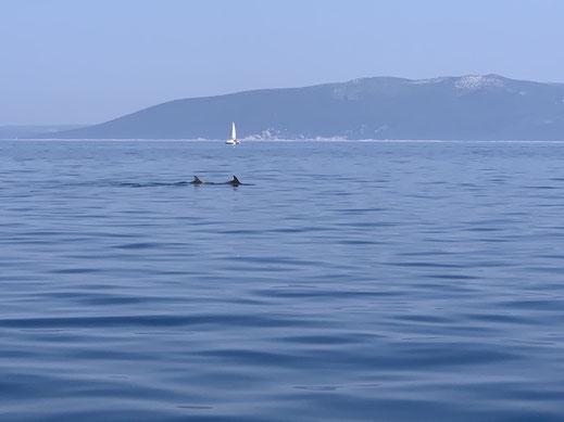 Kroatien, Cres, segeln, Delfine