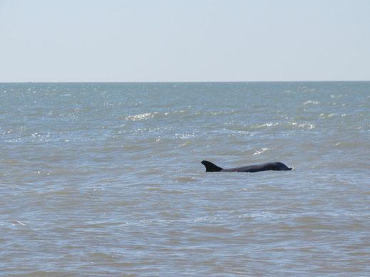 Florida, Sanibel Island, Delfin