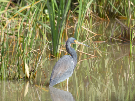 Florida, Everglades, Wildpark Everglades Alligator Farm, Airboat, Bootstour, Ausflug, Sümpfe, Graureiher