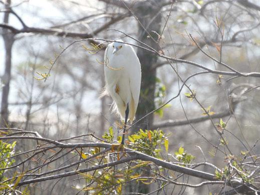 Florida, Everglades, Wasservogel, Silberreiher, Gator Site
