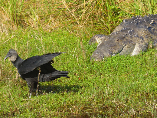 Florida, Everglades, Nine Mile Pond, See, Alligator, truthahngeier
