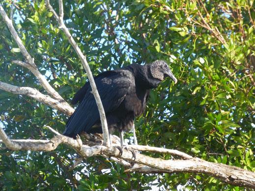 Florida, Everglades, Wildpark Everglades Alligator Farm, Airboat, Bootstour, Ausflug, Sümpfe, Geier, Truthahngeier
