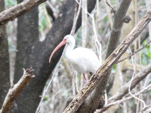 Florida, Everglades, Flamingo Marina, Bootsfahrt, Ausflug Schiff, weißer Wasservogel, Schneesichler
