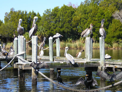 Florida, Homosassa, Pelikan