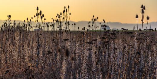 Buntbrache mit Karden als Charakter dieser Landschaft (Foto: S. Trösch)